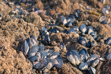 detail of blue mussels living on rocky beach at low tide