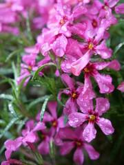 Blühen im Frühlingsregen