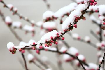 Peach blossom, the snow landscape