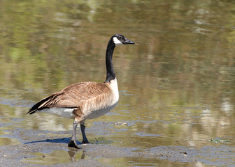 Canada goose walking towards a pond. Canada geese are able to establish breeding colonies in urban and cultivated areas, which have food and few natural predators, well known as a common park species.