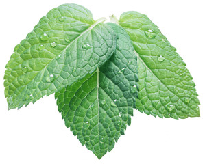 Three spearmint or mint leaves with water drops on white background. Top view.