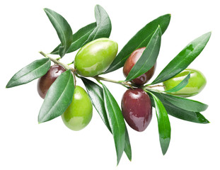 Half-ripe fresh olive berries on the olive branch. Clipping path.