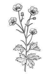 Buttercup flower illustration, drawing, engraving, ink, line art, vector