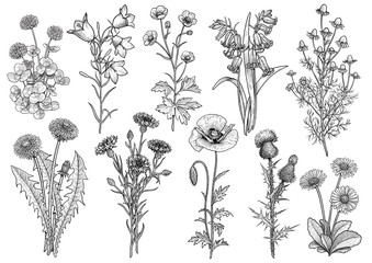 Wildflower,  bluebell, bellflower, buttercup, chamomile, clover, cornflower, dandelion, daisy, poppy, thistle collection illustration, drawing, engraving, ink, line art, vector