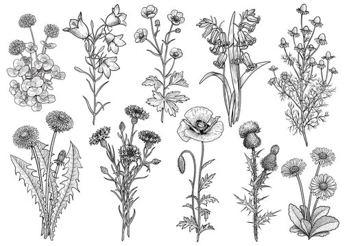 Wildflower,  bluebell, bellflower, buttercup, chamomile, clover, cornflower, dandelion, daisy, poppy, thistle collection illustration, drawing, engraving, ink, line art, vector