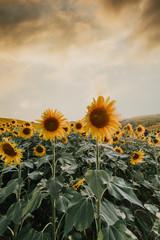 field of sunflower it's look beautiful in the twilight.