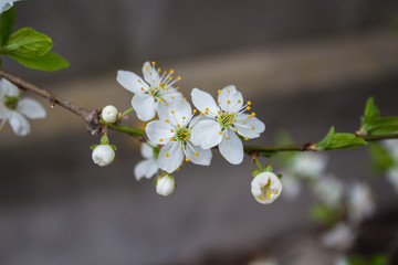 a blooming cherry