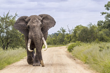 Deurstickers Olifant African bush elephant in Kruger National park, South Africa