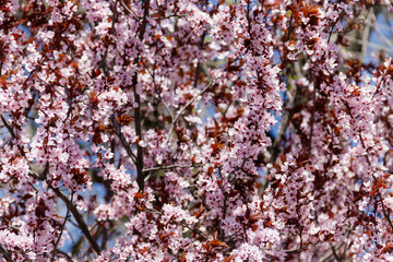 Close-up of pink blossoming branches of the paradise apple tree