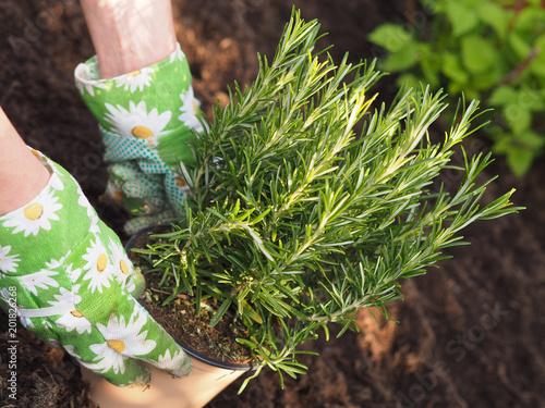 Rosmarin Ins Krauter Hochbeet Pflanzen Stockfotos Und Lizenzfreie