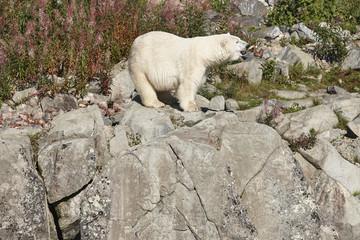 Female polar bear on the wilderness. Wild nature environment