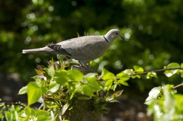 Tourterelle turque,.Streptopelia decaocto, Eurasian Collared Dove