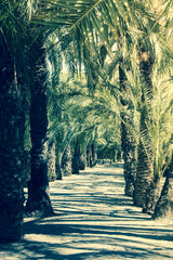 Alley of Palm Trees In Alicante In Spain With Sun And Sky On A Sunny Day
