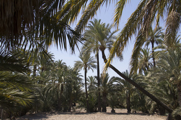 Palm Trees In the city of elche in alicante in the province elx in spain with leaves framing the photo