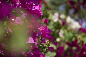 Pink Flowers Mixed With White Ones And A Green Blurry Leaf In The Foreground, Shot In Murcia In Spain