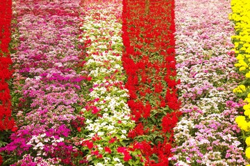 Texture and background of colorful flowers in the park ,  Bangkok city, Thailand.