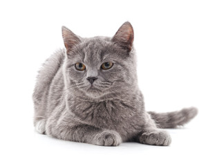 One gray cat.