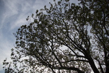 Old oak tree with the branches reaching the sky on a sunny day with green leaves in summer