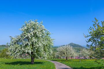 Blühender Birnbaum und Kirschbäume