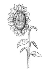 Sunflower sketch - hand draw black and white illustration of blooming flower and leafs.