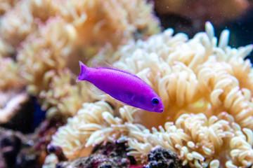 small fish Pseudochromis Fridmani