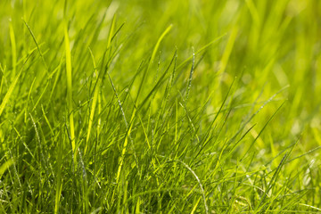 Macro photo of natural fresh growing  green grass background