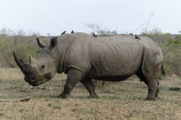 Rhinocéros blanc, Ceratotherium simum, Piqueboeuf à bec rouge, .Buphagus erythrorynchus, Red billed Oxpecker, Parc national Kruger, Afrique du Sud