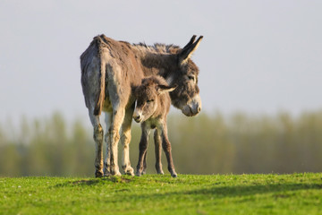 Photo sur Plexiglas Ane Grey baby donkey and mother on the spring meadow