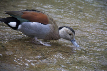 Colorful duck drinking water in a river