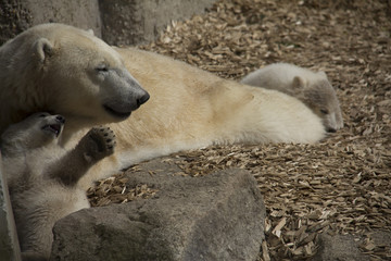 White polar bear with two little baby bears lying on wood chips in front of a stone wall