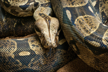 Close up of Boa constrictor imperator. Nominal Colombia - colombian redtail boas, females