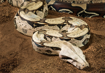 Close up of female Boa constrictor constrictor – Surinam Guyana, with curved body in motion