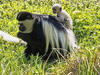 The family Mantled guereza, Colobus guereza, with a white colored baby