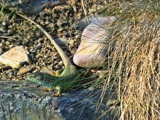 European green lizard, Lacerta viridis, the green jewel of Europe