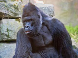 The Western Lowland Gorilla, Gorilla g.gorila, adult male Silver back