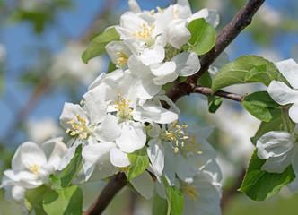 Apfelblüten, blühender Apfelbaum, Malus