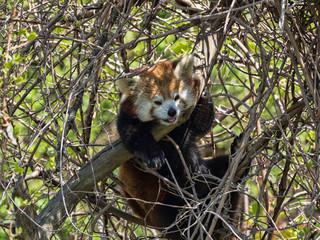 Red panda, Ailurus fulgens, hidden in a tree