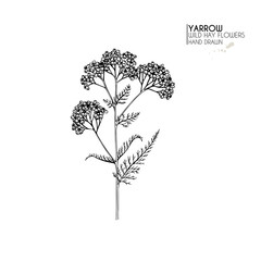 Hand drawn wild hay flowers. Yarrow milfoil. Medical herb. Vintage engraved art. Botanical illustration. Good for cosmetics, medicine, treating, aromatherapy, nursing, package design field bouquet.