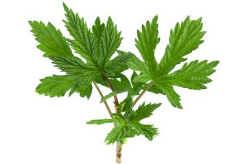 Hop plant closeup leaf