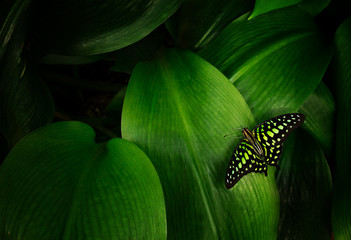 Graphium agamemnon on green leaf.
