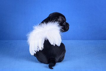 Black puppy with white wings on blue background.