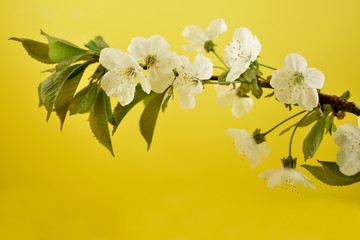 Flowering cherry branch stock images. Cherry branch on a yellow background. Spring floral decoration. Spring background concept. White cherry blossom flowering branche