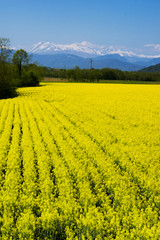 Yellow rapeseed flower field and snow-capped mountains in background. Italy, regione Friuli-Venezia Giulia
