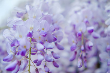 Beautiful wisteria flowers blooming in purple color in spring in spring  in the garden.