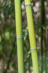 closeup of bamboo tree in tropical garden