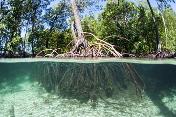 Mangrove Trees Growing in Raja Ampat
