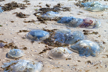 Dead jellyfish (Rhizostoma) washed ashore on wet beach