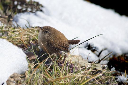 Wren in the snow