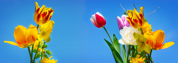 Colorful tulips and gold florets, blue sky
