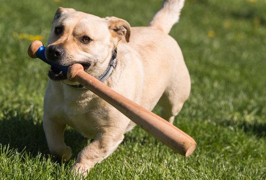 little dog playing in the backyard with a baseball bat